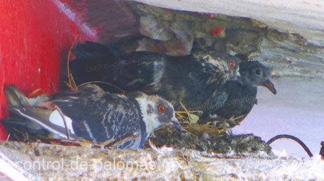 A las palomas les es fácil anidar en cualquier área alta