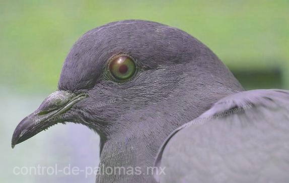 Paloma, ave propagadora de virus