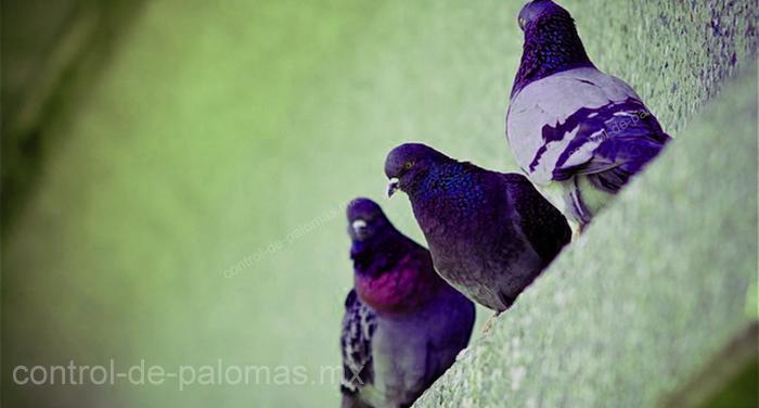 Las palomas se pueden volver un foco de infección si no se controlan